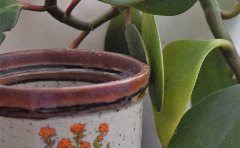 Peperomia: an Undemanding Houseplant