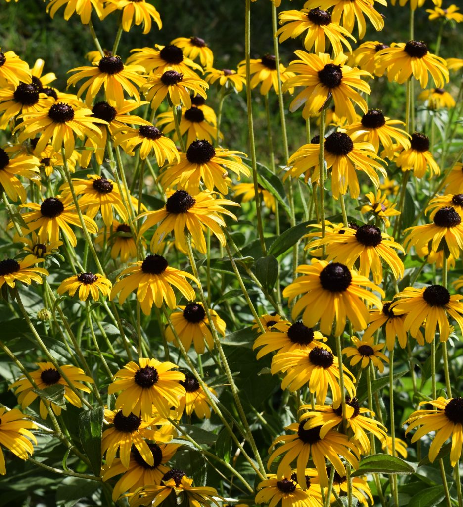 Black-eyed susans in bloom.