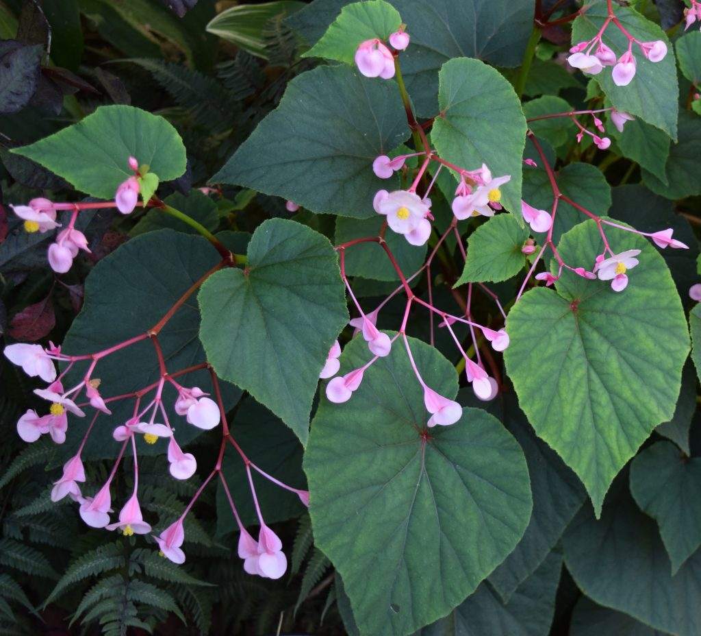 Hardy Begonia flowers at end of summer.