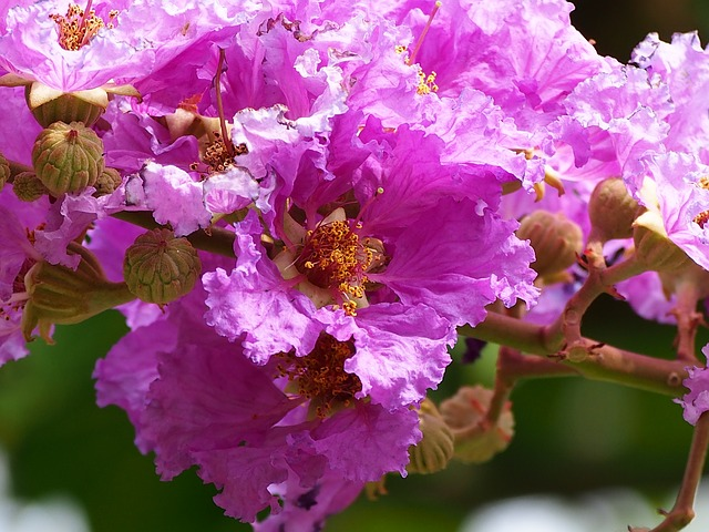 Crape Myrtle flowers in full bloom.