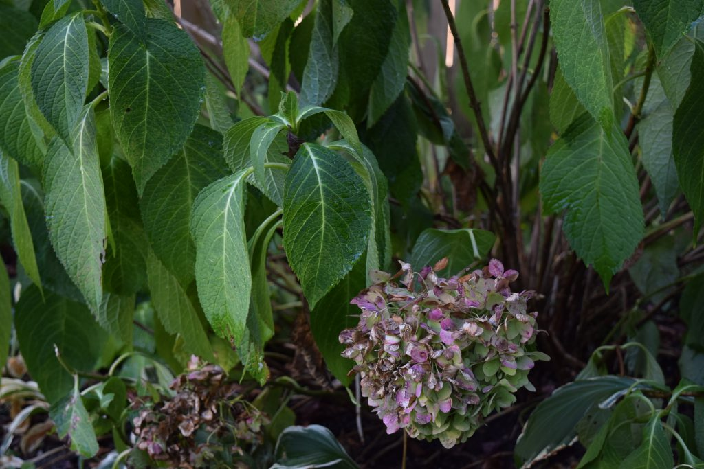 End of summer hydrangea drooping.