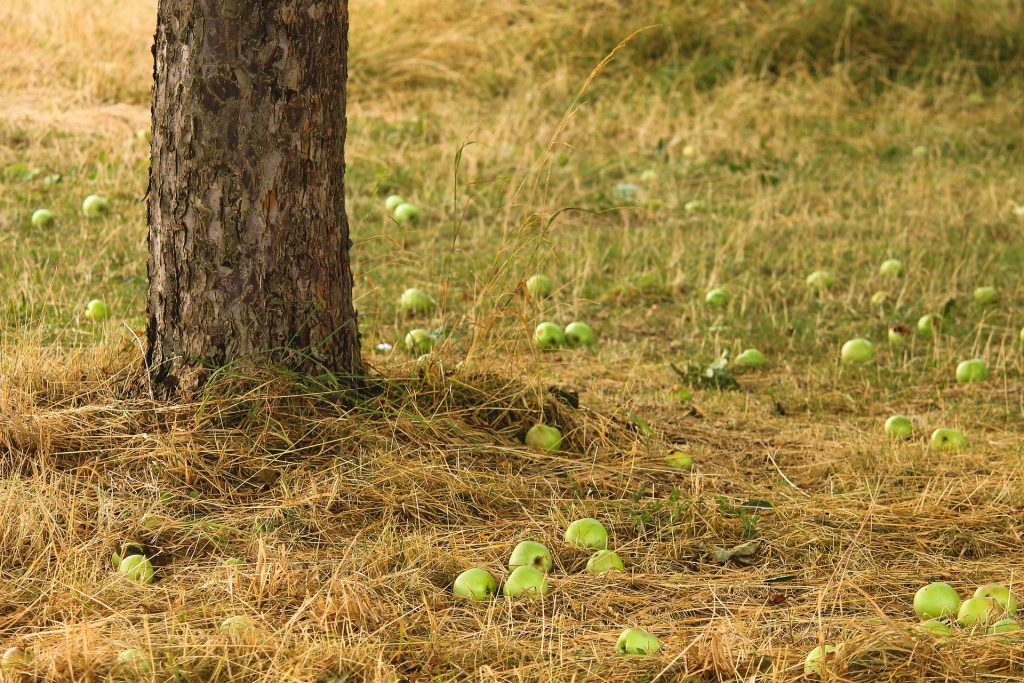 Tree trunk surrounded by fallen green apples.
