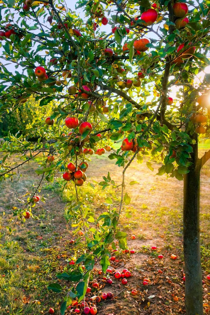 Apple tree with apples on tree and ground.
