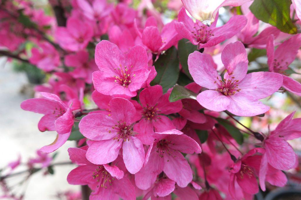 Pink crabapple flowers.