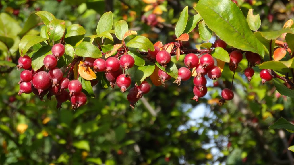 Crabapples on tree branch.