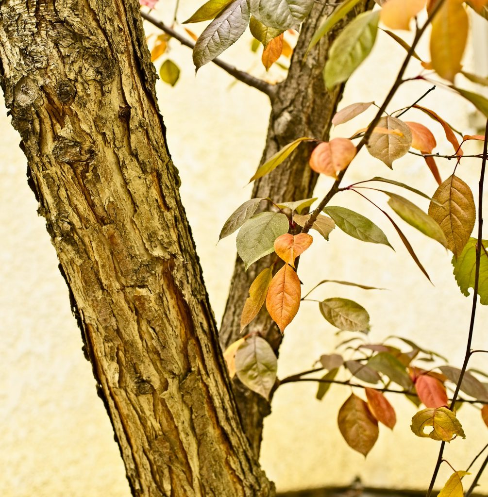 Crabapple trunk, branches. leaves in fall.