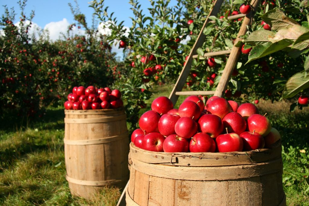 Two barrels of apples in an apple orchard.