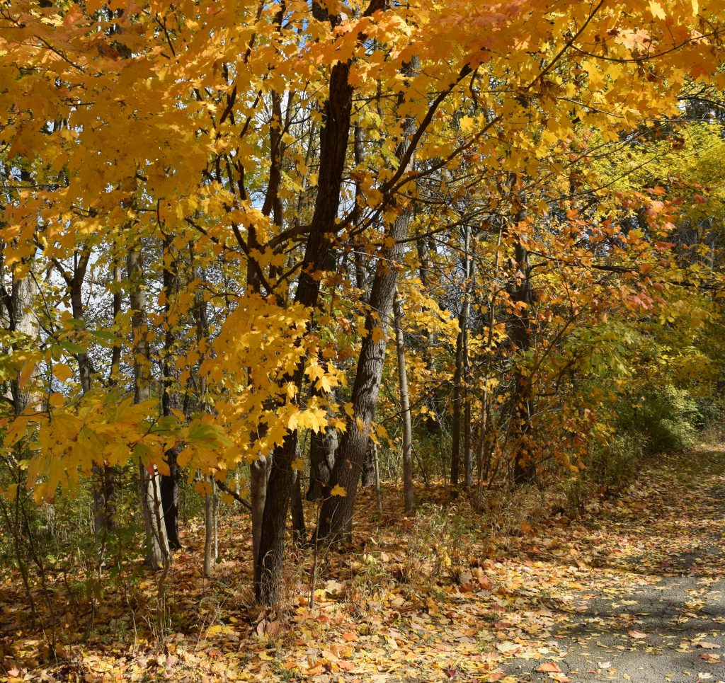 Maple trees line a path in the fall woods