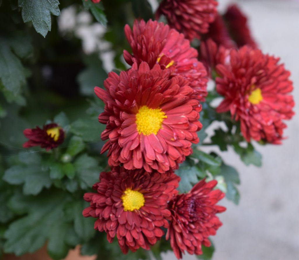 Red mums with yellow centers.