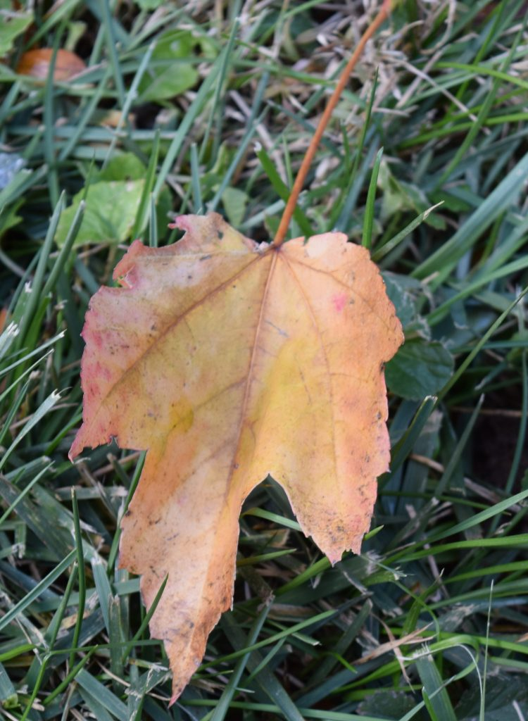 Yellow maple leaf in the grass.