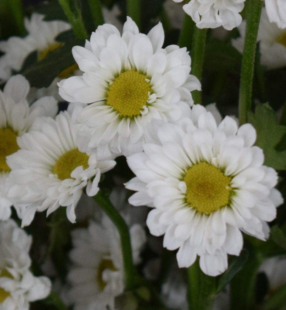 White mums with yellow centers.