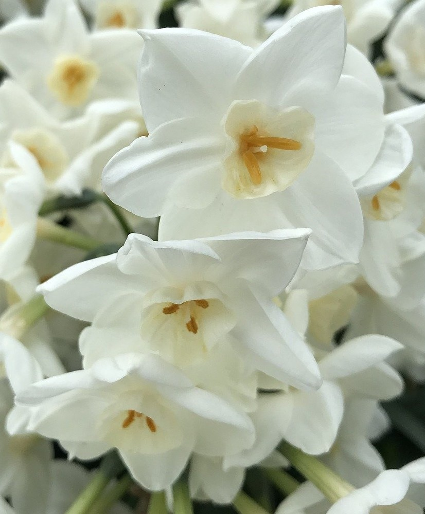 Paperwhite Narcissus grows indoors on stones set in water.