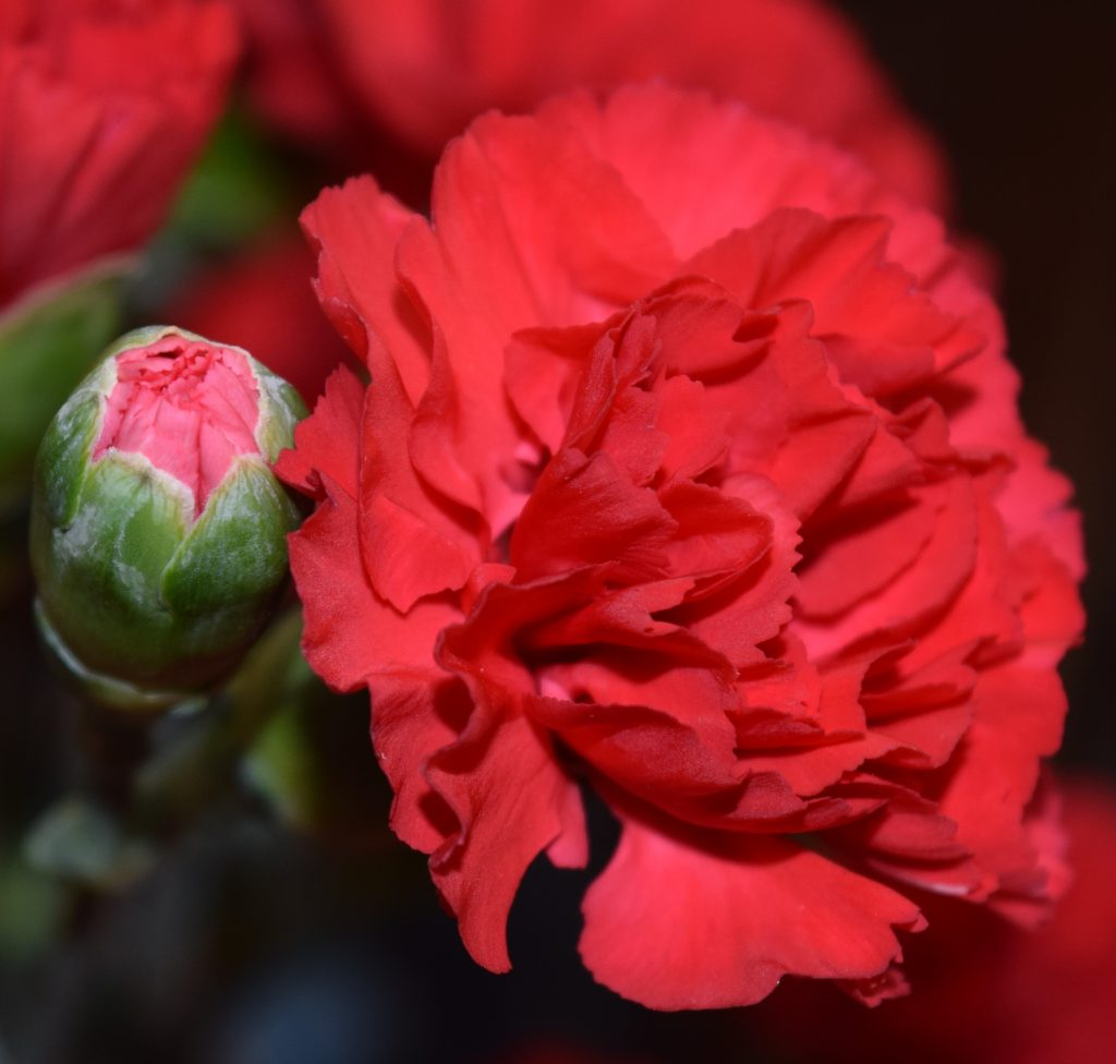 Carnation and carnation bud side by side.