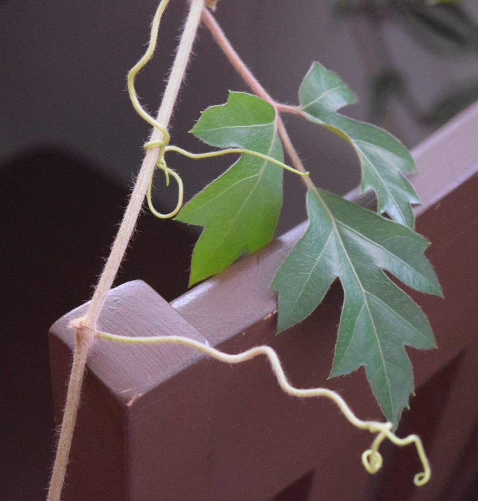 Grape ivy tendrils curl on its own stem.