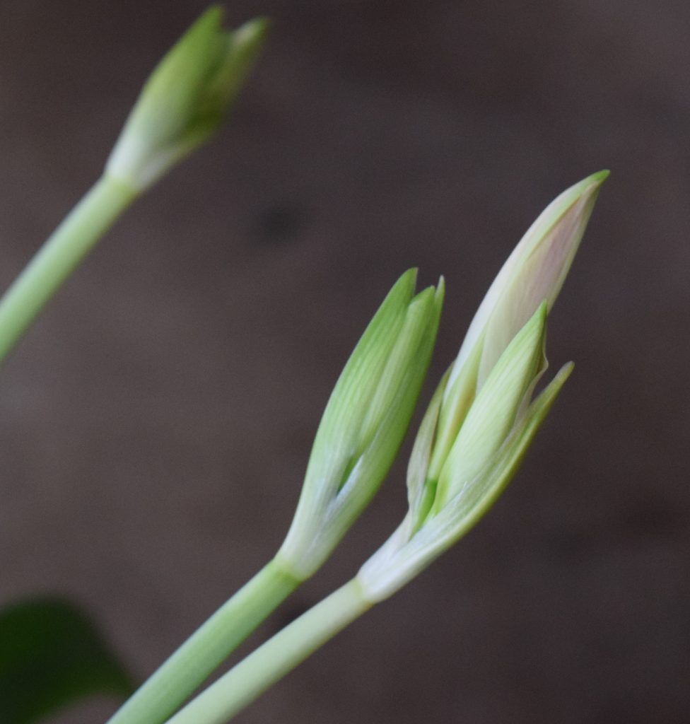 Three lily buds.