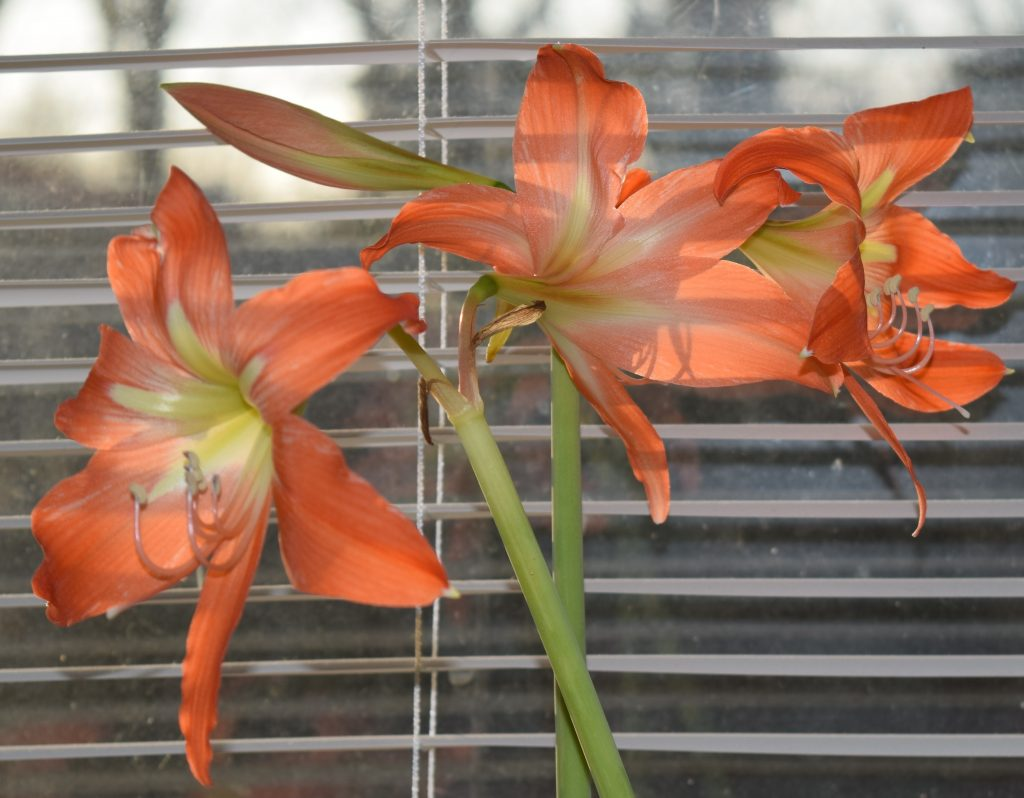 Cluster of three orange lilies with one bud.