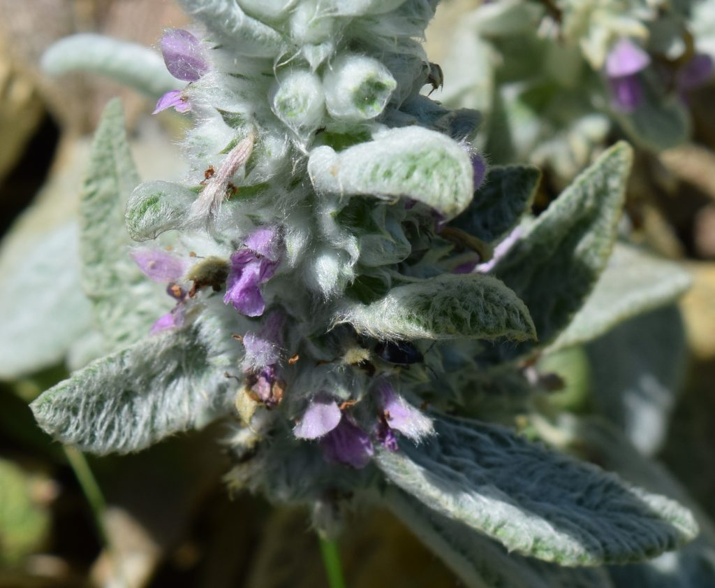 Up close look at tiney lavendar flowers of Lamb's Ears.