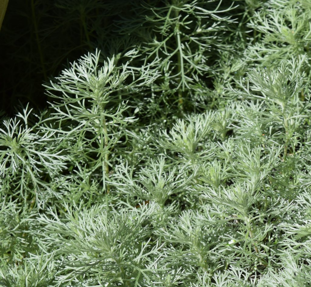 "Artemisia ""Silver Mound"" shows its featery leaves."