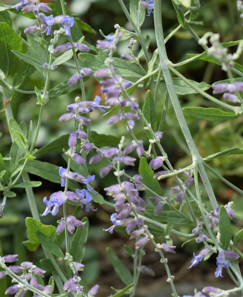 Pale purple flowers climb stem of Russian sage.
