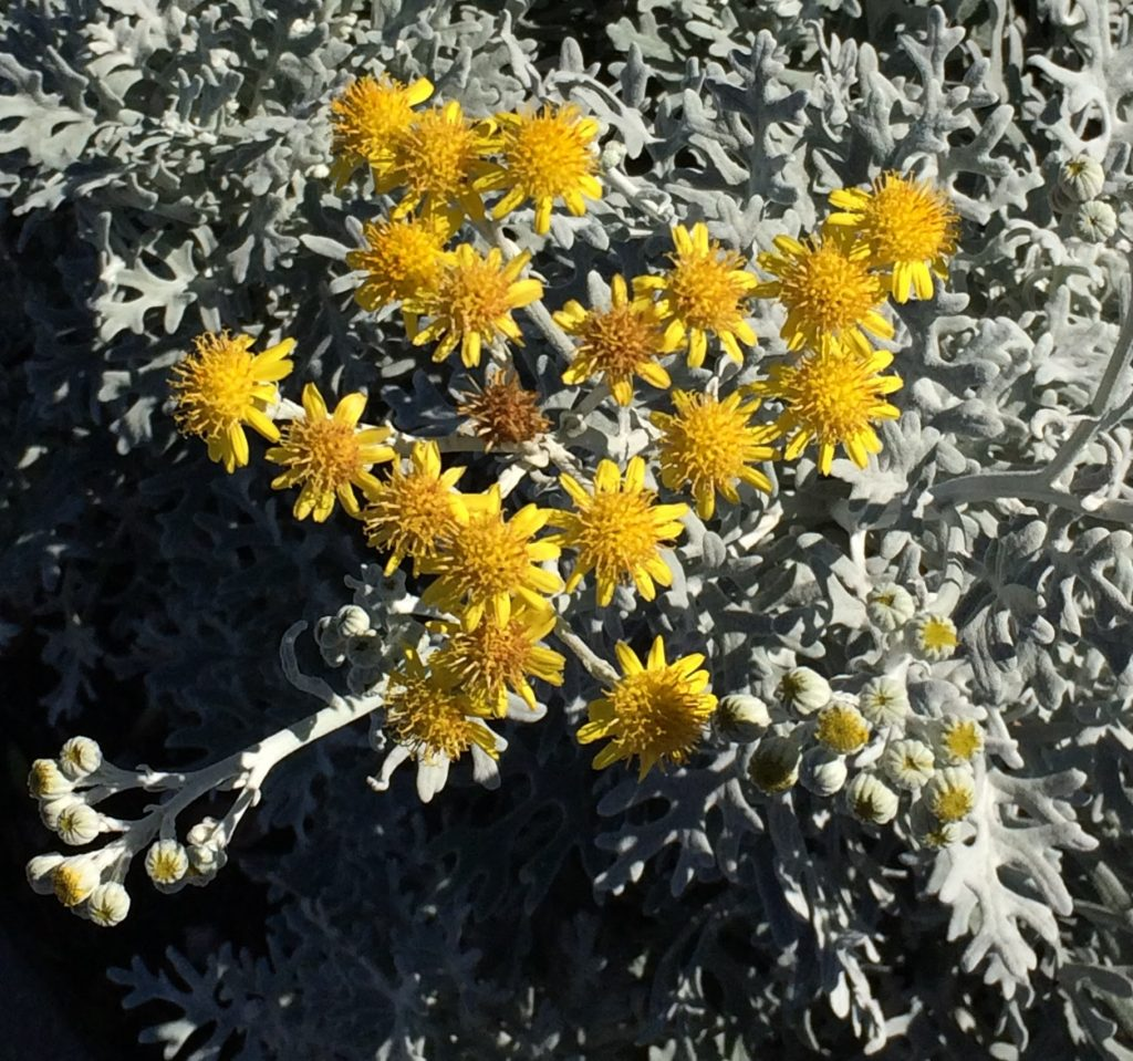 Yellow flowers of annual Dusty Miller.